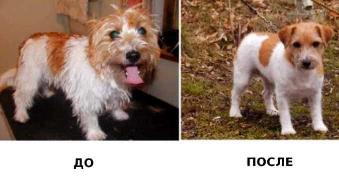 тримминг собаки до и после