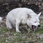 рвота у собаки после еды непереваренной пищей