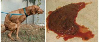 Рвота и кровавый понос у щенка