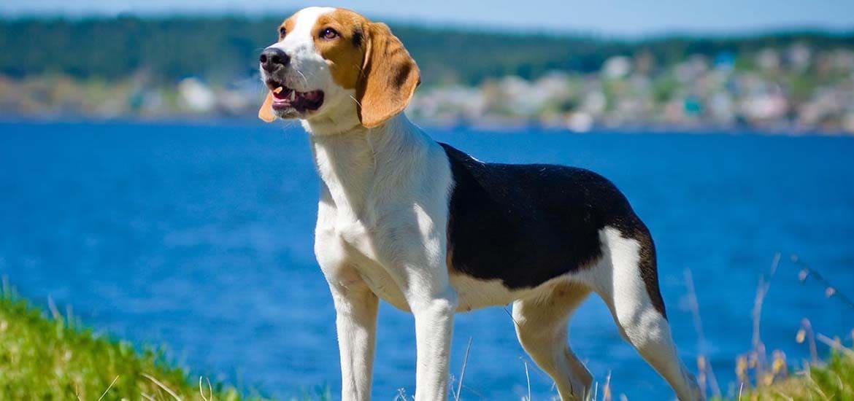 порода собак эстонская гончая