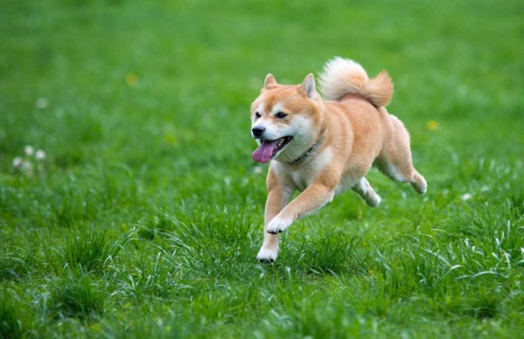 сиба-ину бежит по траве