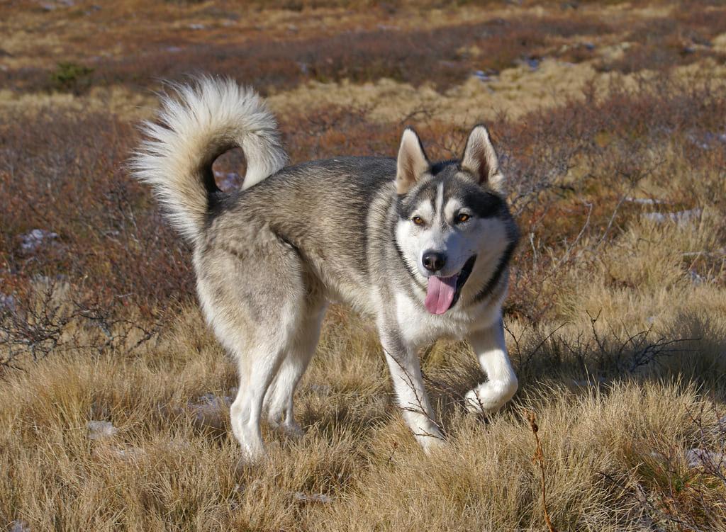 Сибирский хаски: подробное описание породы и характера