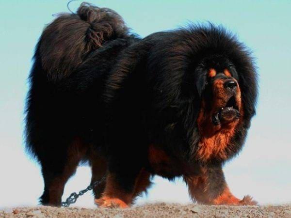порода огромных собак - тибетский мастиф
