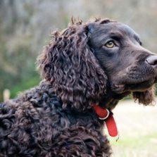 Кудрявые породы собак с фото