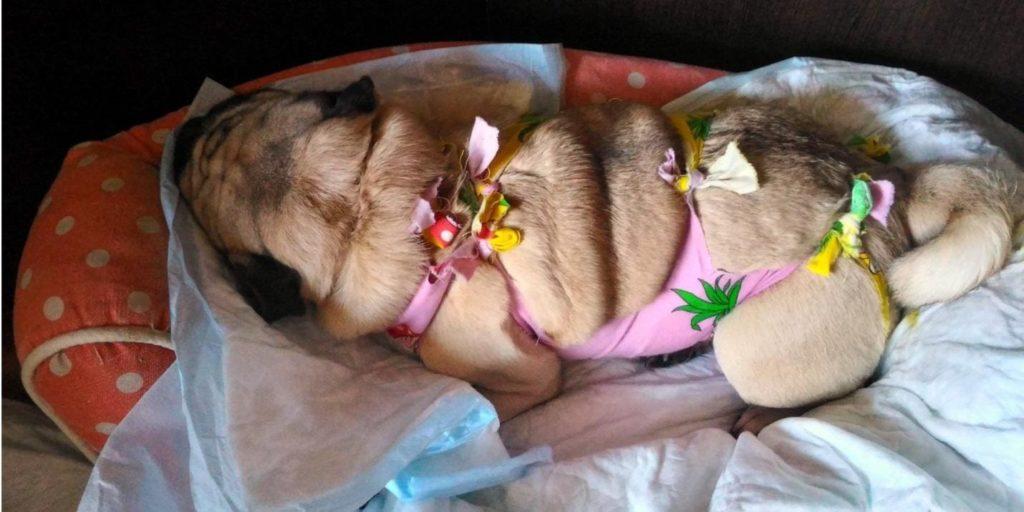 Собака после стерелизации