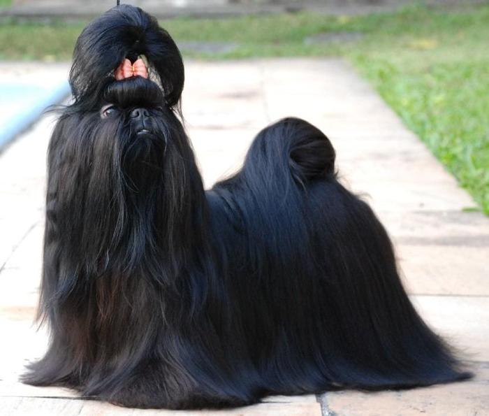 черный ши-тцу