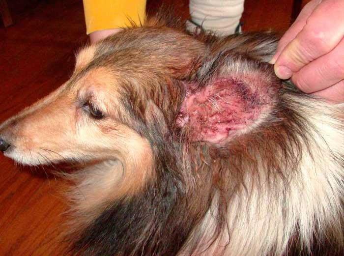Отит у собак: причины, виды и лечение