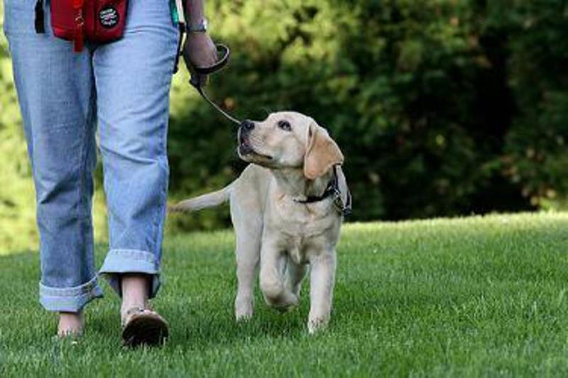 Собака идет рядом и не тянет поводок при прогулке