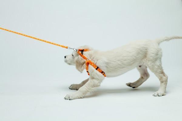 собака сопротивляется когда на ней одета шлейка