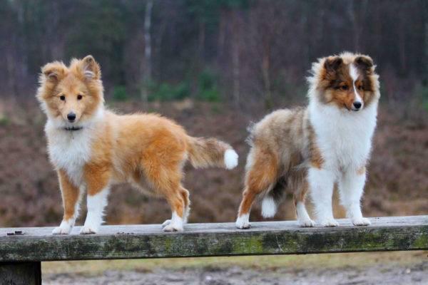 щенки шетландской овчарки