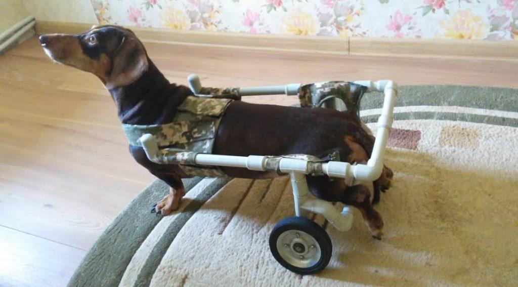 Если у собаки парализовало задние лапы, что делать? Возможно ли лечение?