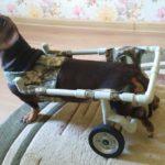 у собаки парализовало задние лапы