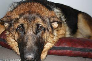Инсульт у собаки — первые признаки, как проходит лечение и что делать хозяину