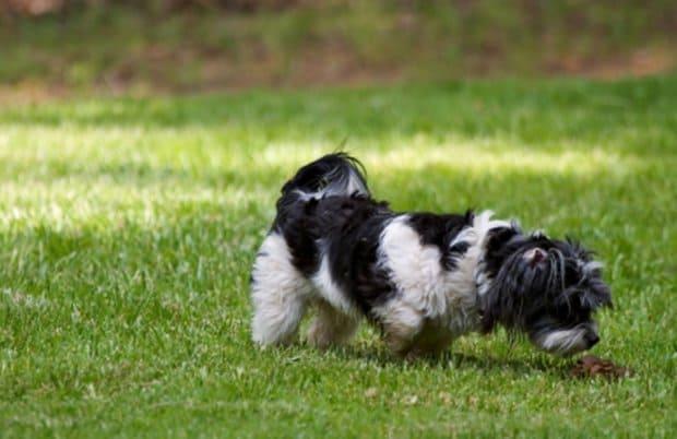 собака ест свой кал на прогулке
