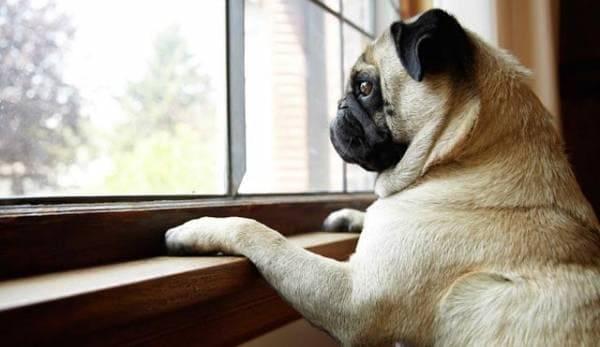 Собака в одиночестве смотрит в окно
