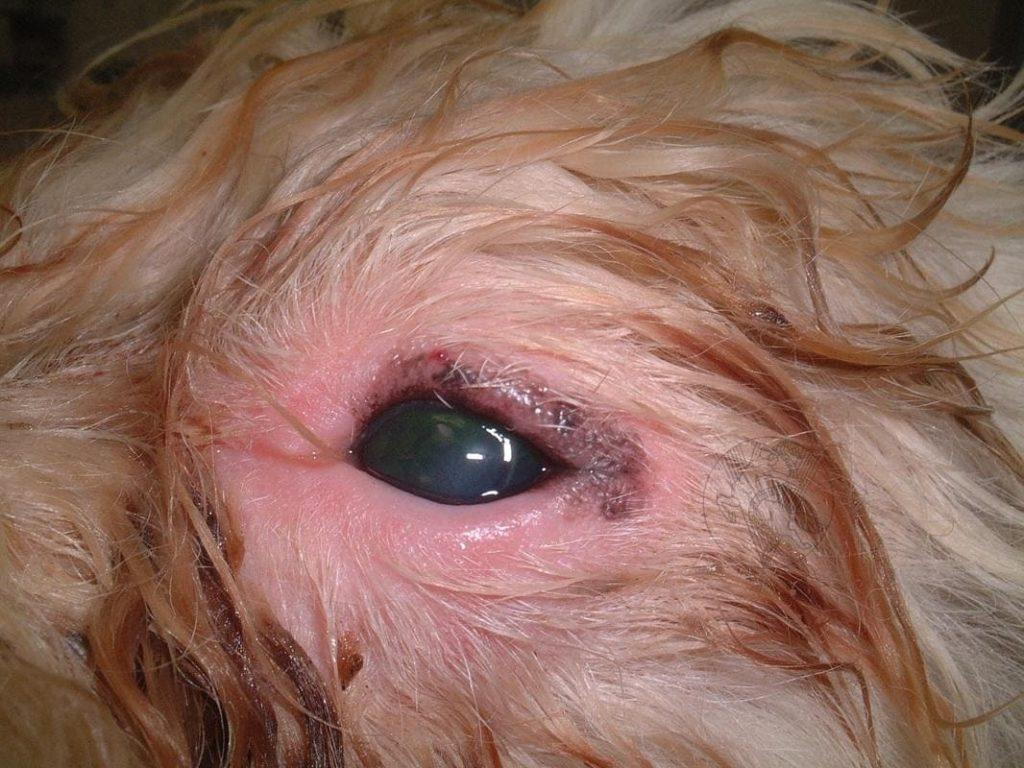 У собаки покраснел глаз