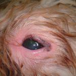 Красный глаз у собаки