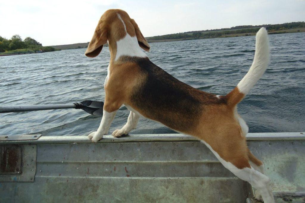 бигль на лодке