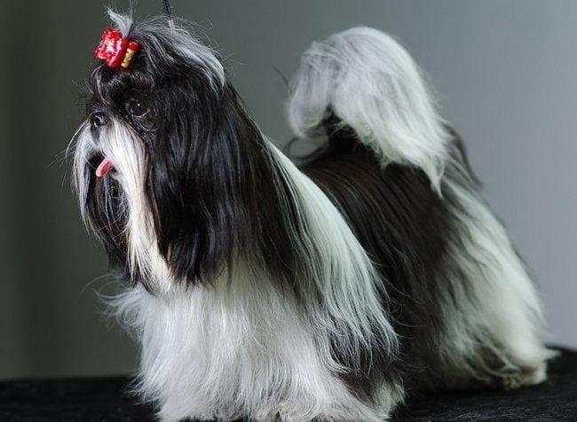 фото черно-белого ши-тцу
