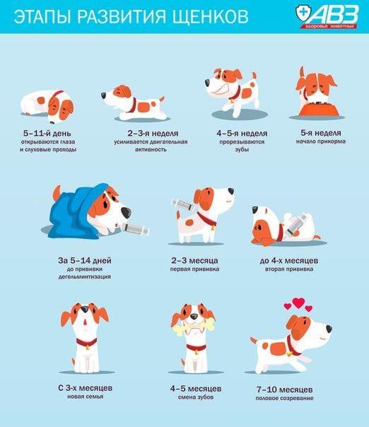 развитие щенков