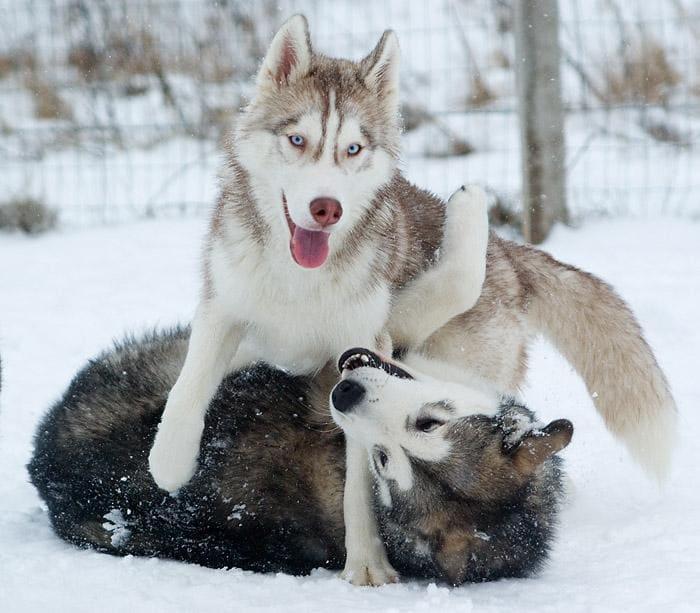 две хаски играют на снегу