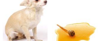 Можно ли давать собаке мед