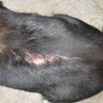 симптомы подкожного клеща у собак