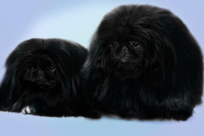 пекинес черный