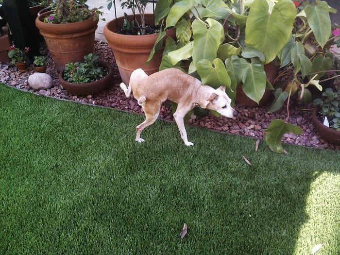 Пес непроизвольно мочится во дворе