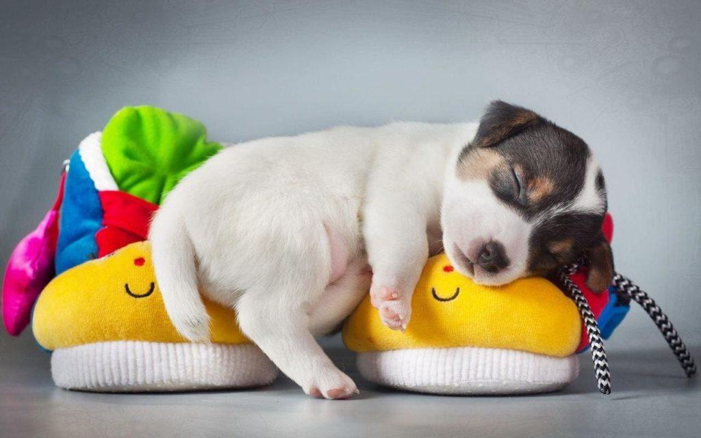 Маленький щенок спит