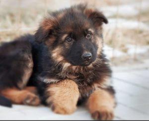 щенок овчарки с висящими ушами