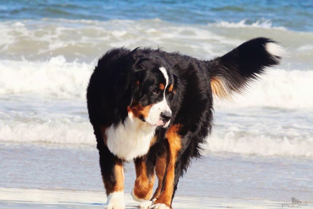 Бернский зенненхунд на пляже