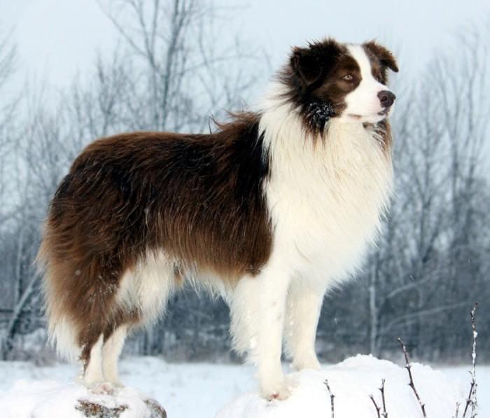 Бордер-колли самая умная порода собак