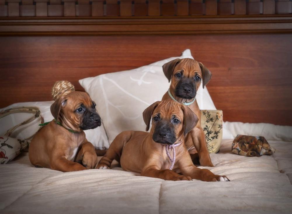 Три щеночка родезийских риджбеков