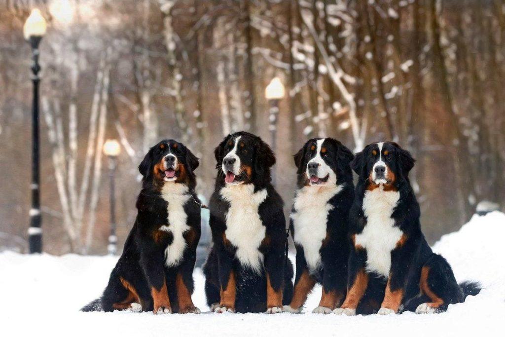 Четыре Бернских зенненхунда на снегу
