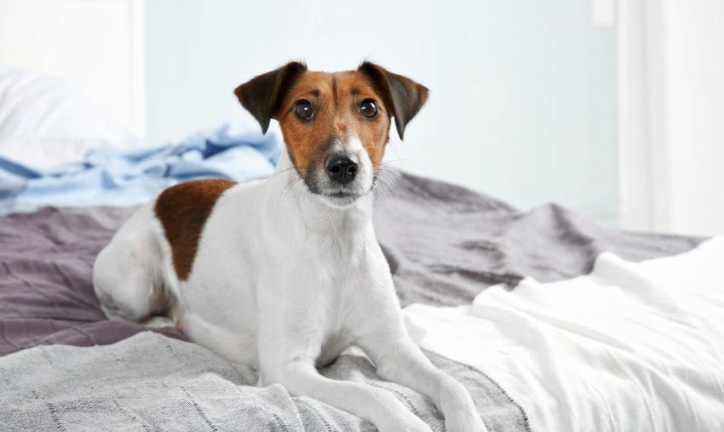 Пес гадит на кровать