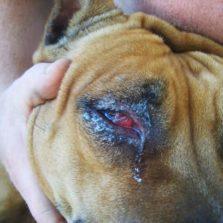 Катаральныйконюнктивит у собаки