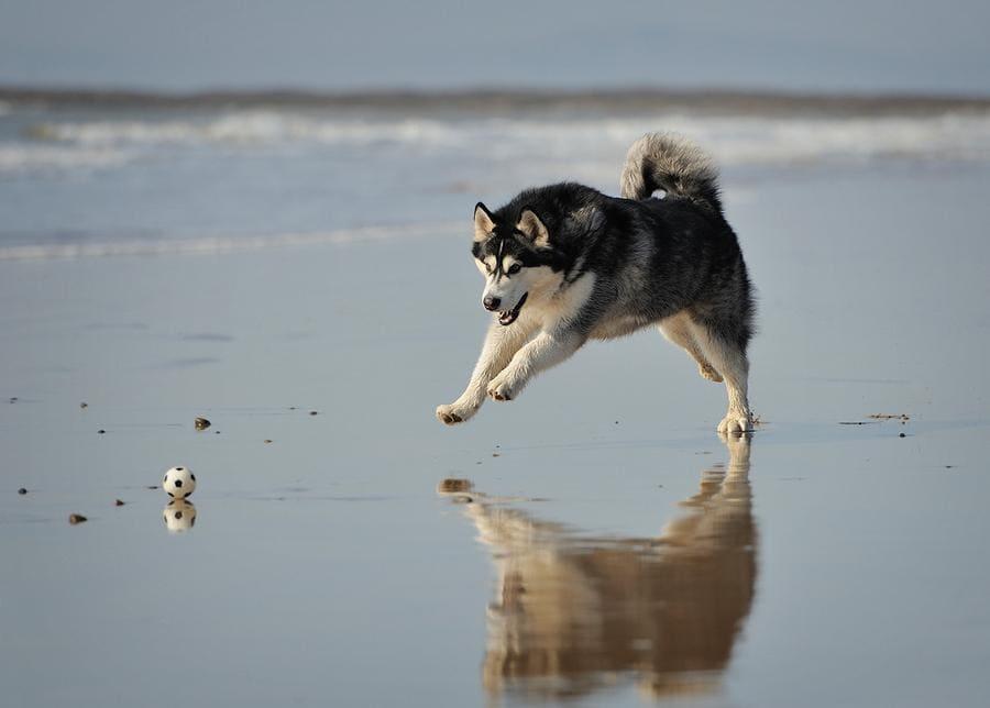хаски бежит по пляжу