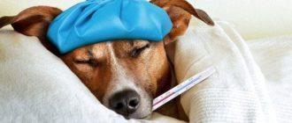 Собака с термометром во рту меряет температуру