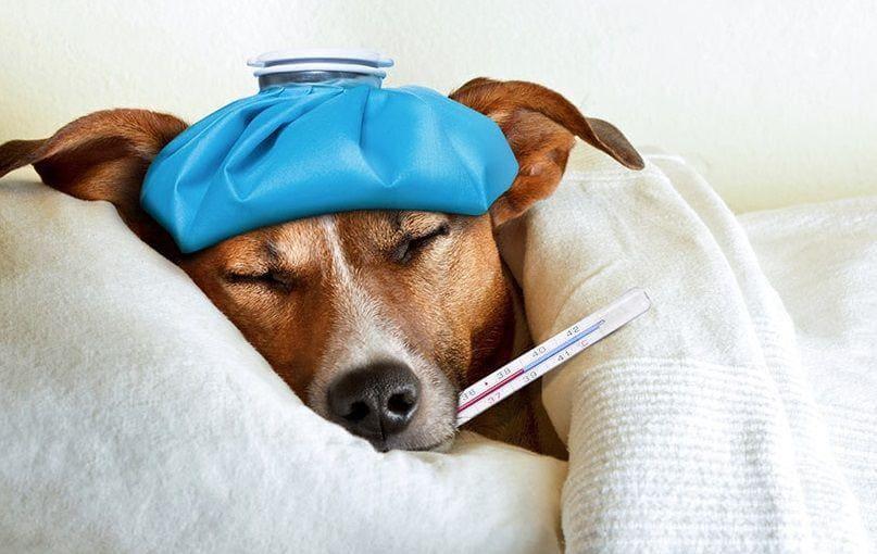 Как определить есть ли у собаки температура