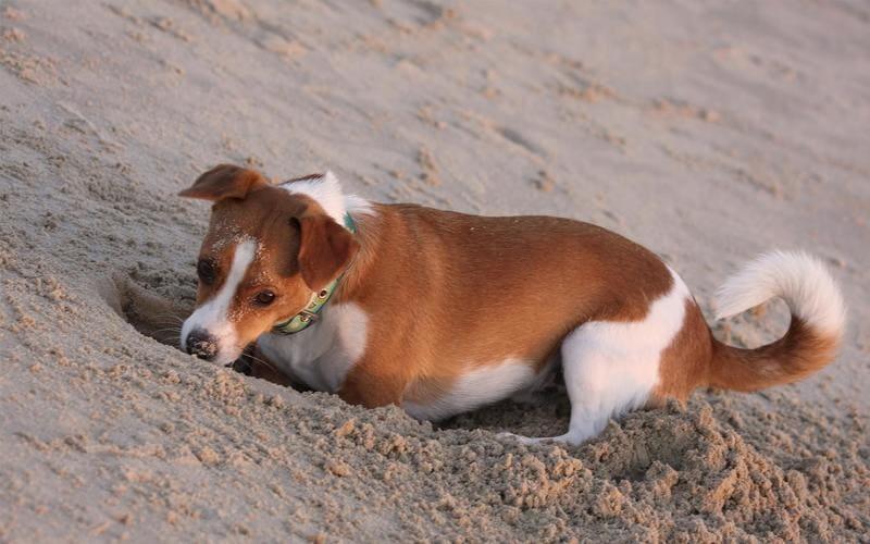 собака вырыла яму