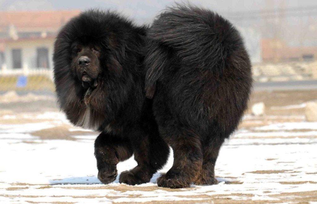 черный тибетский мастиф