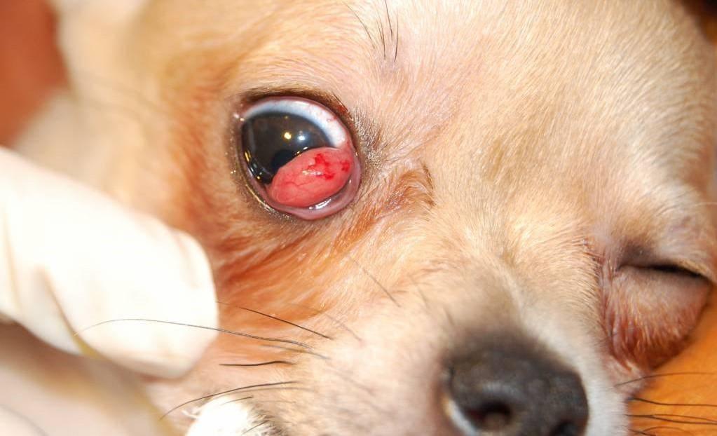 пролапс на глазу у собаки