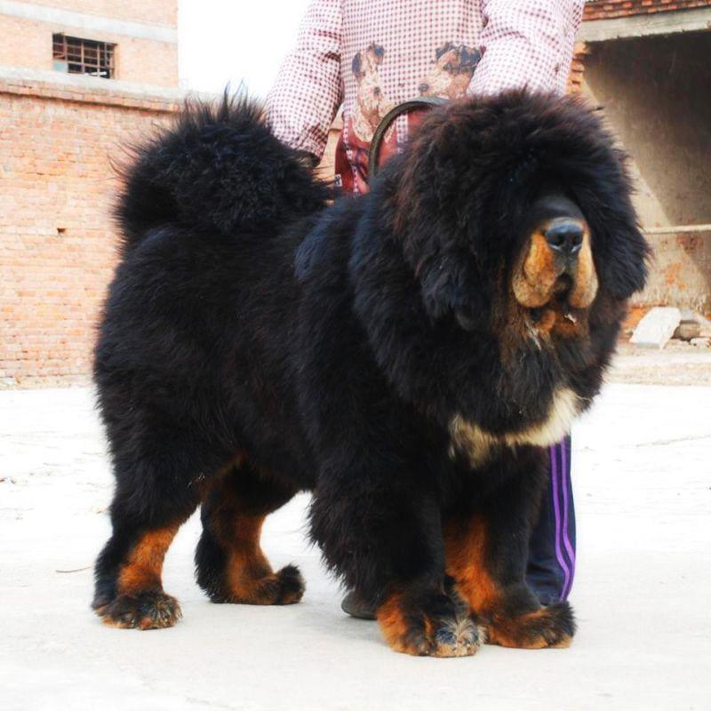 тибетский мастиф рядом с человеком