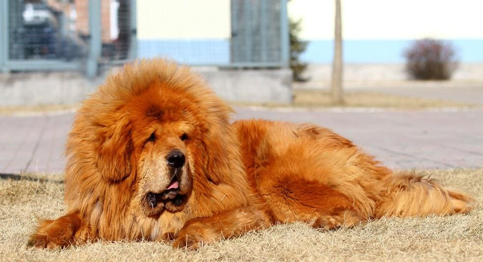 Золотой тибетский мастиф