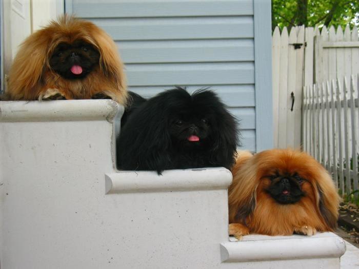 Три пекинеса на ступеньках