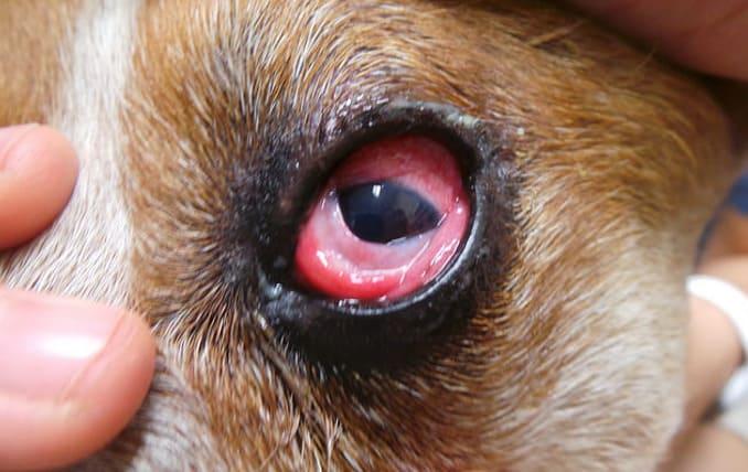 Фолликулярный конъюнктивит у собаки