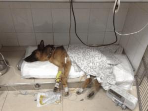 Собака с панкреатитом под капельницей