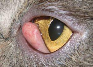 Почему у собаки красный глаз? Список причин