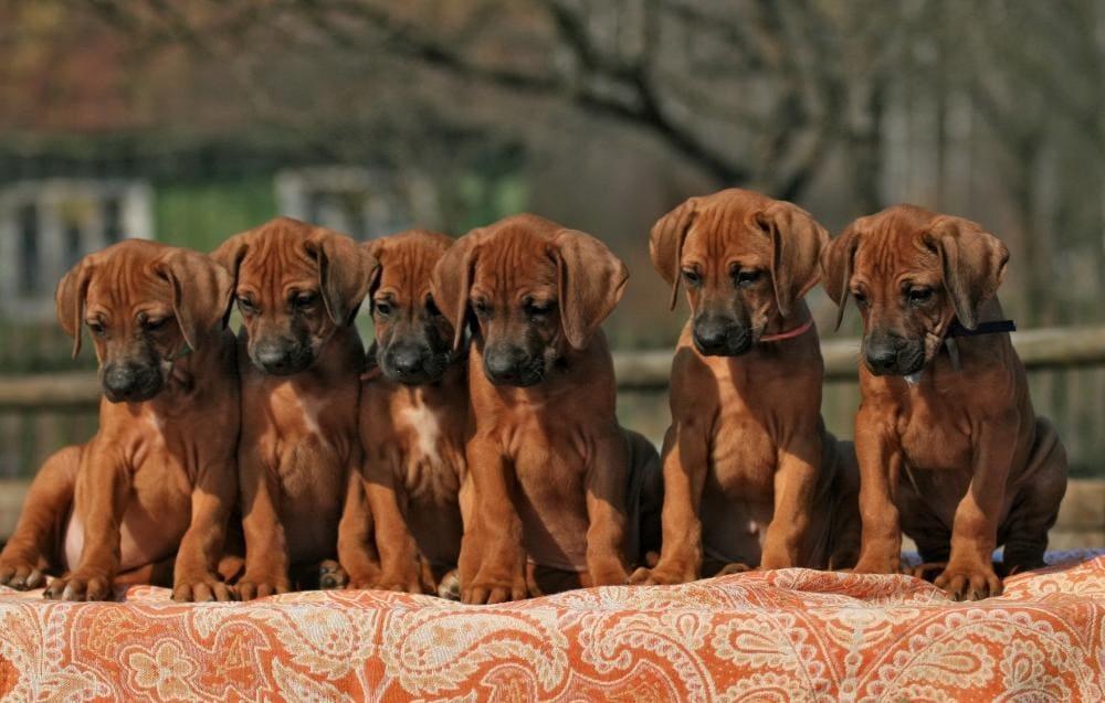 Шесть щенков родезийского риджбека